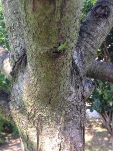 Alter Pflaumenbaum in Nieselpriems Garten